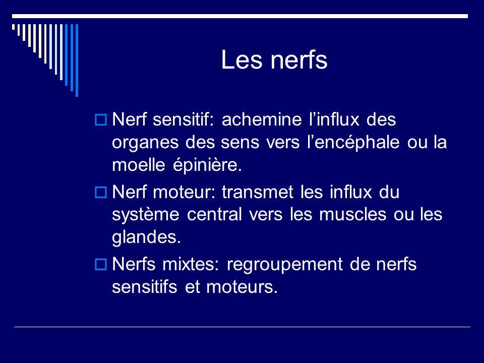 Les nerfs Nerf sensitif: achemine l'influx des organes des sens vers l'encéphale ou la moelle épinière.