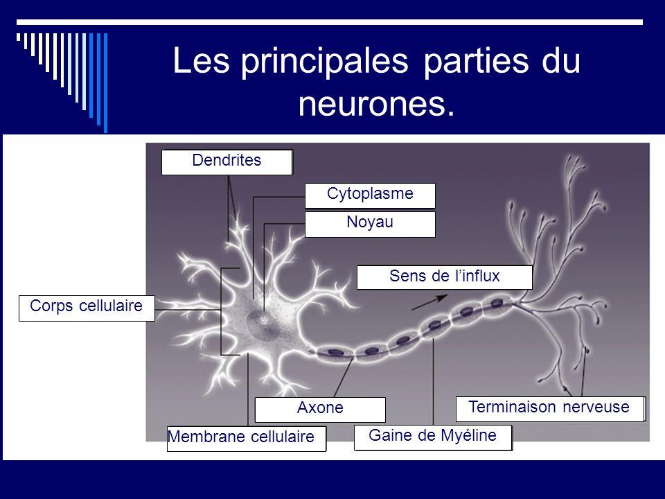 Les principales parties du neurones.