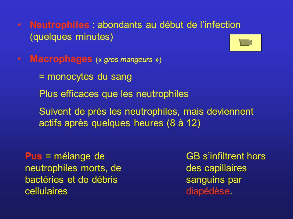 Neutrophiles : abondants au début de l'infection (quelques minutes)