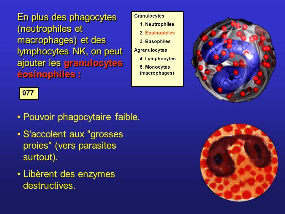 Pouvoir phagocytaire faible.