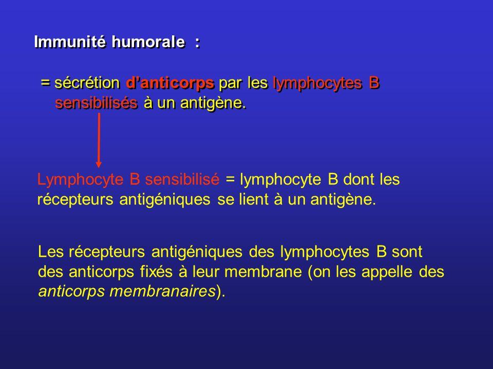 Immunité humorale : = sécrétion d'anticorps par les lymphocytes B sensibilisés à un antigène.