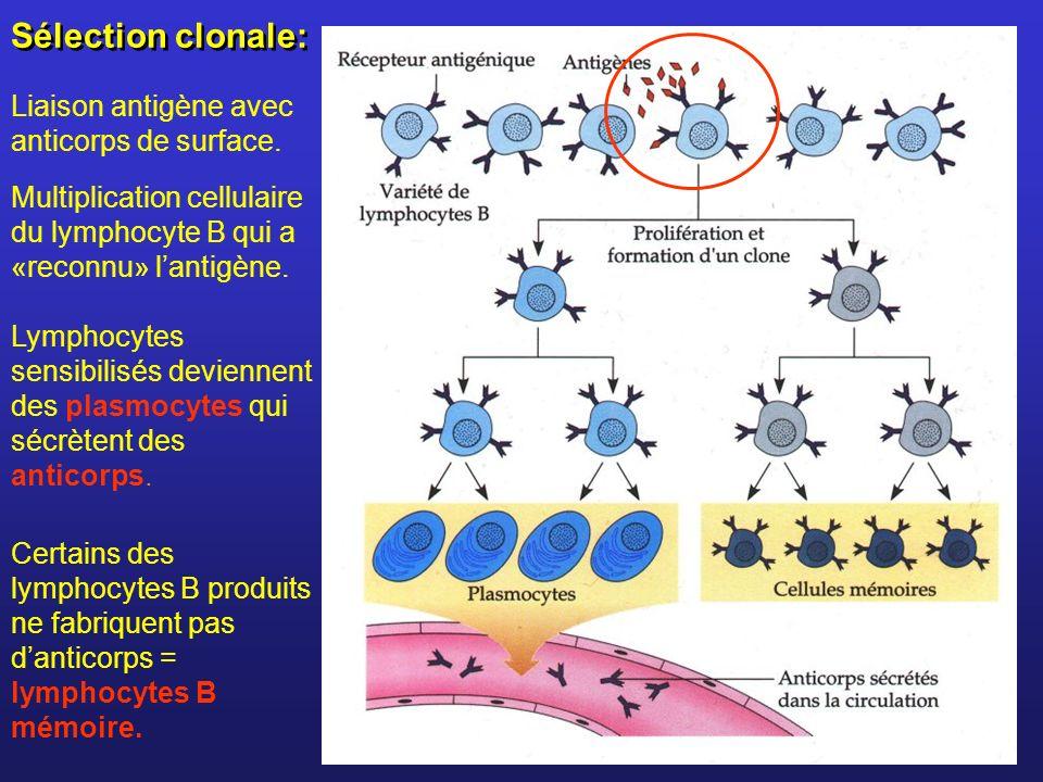 Sélection clonale: Liaison antigène avec anticorps de surface.