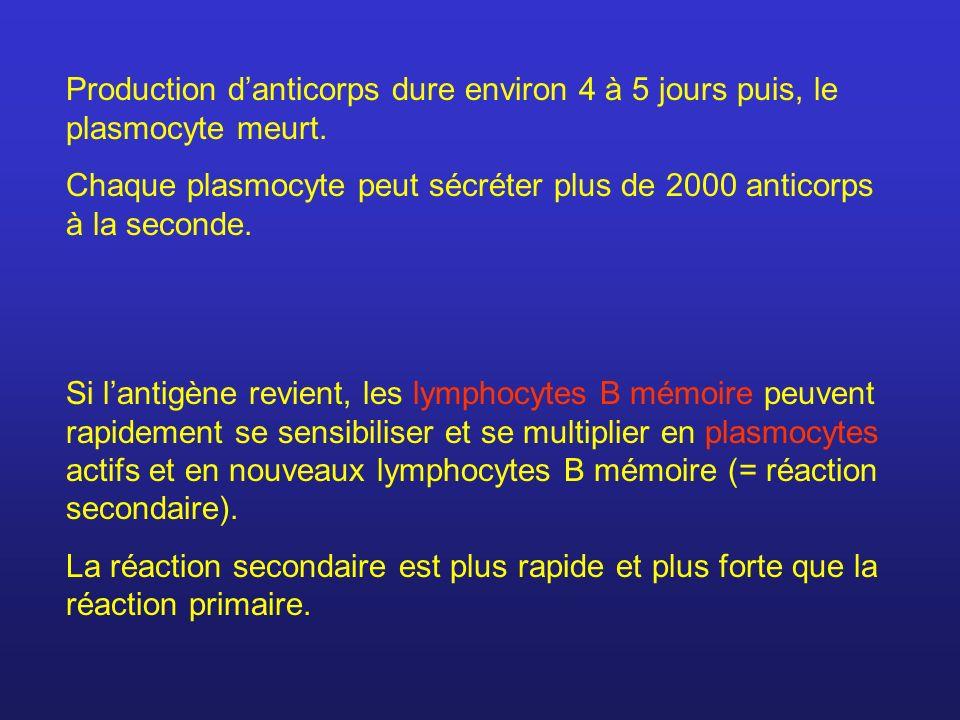Production d'anticorps dure environ 4 à 5 jours puis, le plasmocyte meurt.