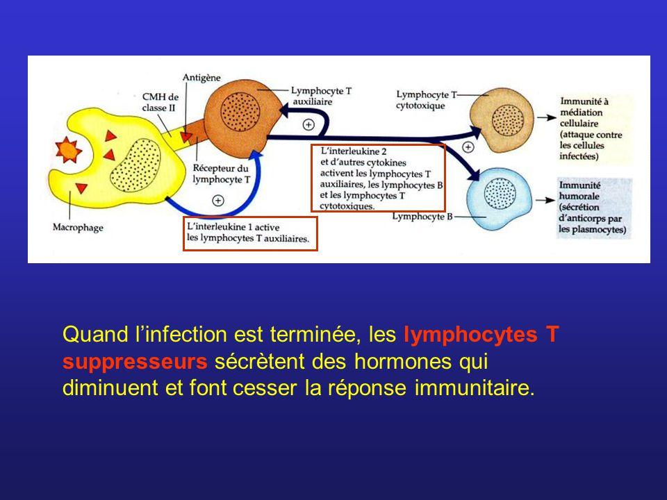 Quand l'infection est terminée, les lymphocytes T suppresseurs sécrètent des hormones qui diminuent et font cesser la réponse immunitaire.