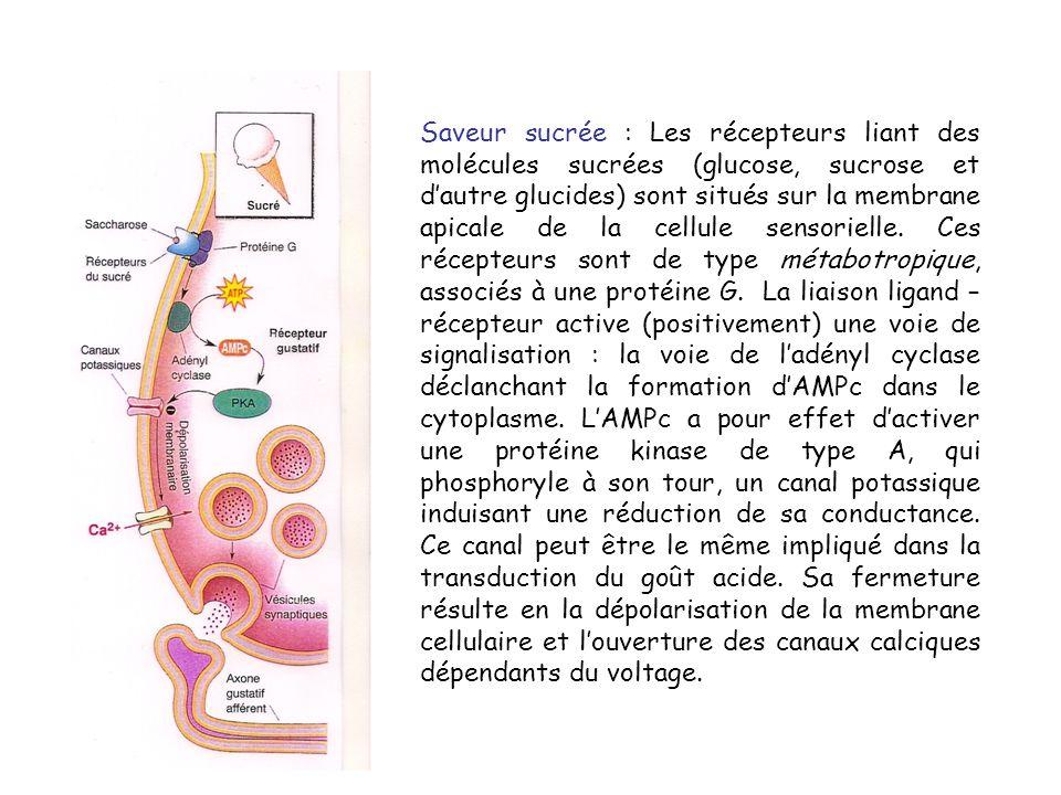 Saveur sucrée : Les récepteurs liant des molécules sucrées (glucose, sucrose et d'autre glucides) sont situés sur la membrane apicale de la cellule sensorielle.