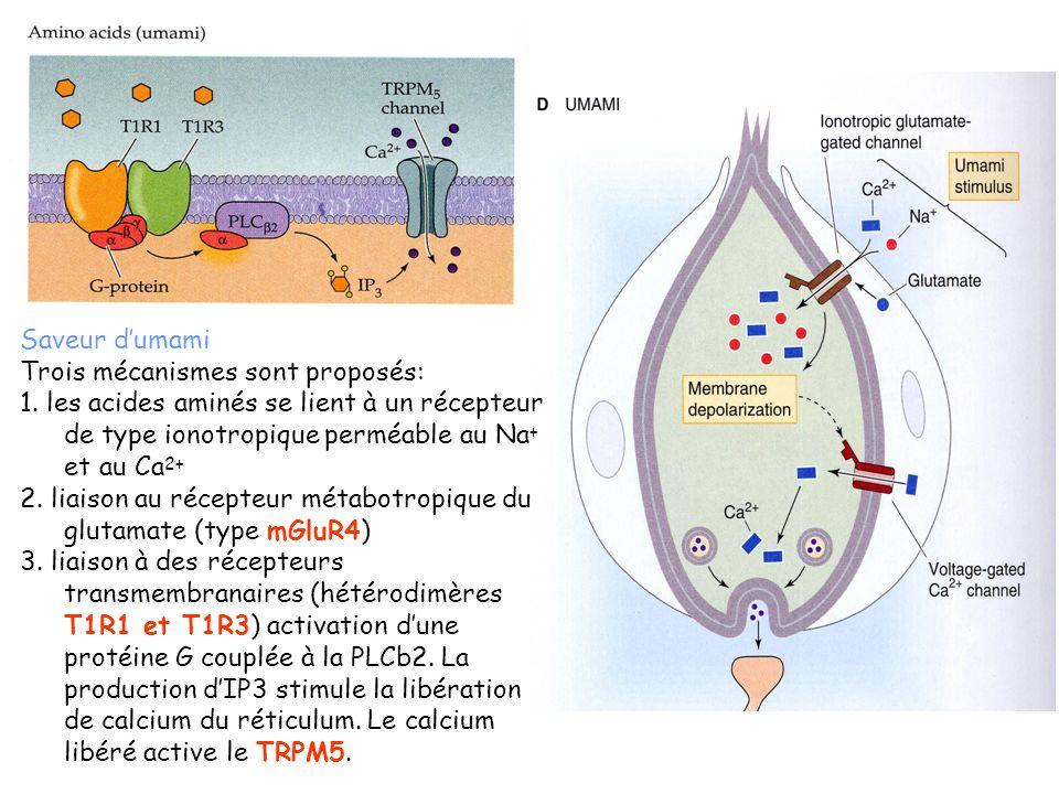 Saveur d'umami Trois mécanismes sont proposés: 1. les acides aminés se lient à un récepteur de type ionotropique perméable au Na+ et au Ca2+
