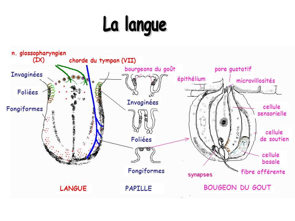 La langue LANGUE PAPILLE BOUGEON DU GOUT Invaginées Foliées Invaginées
