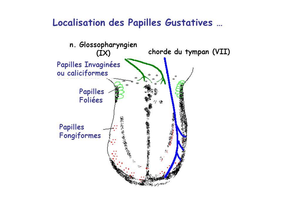 Localisation des Papilles Gustatives …
