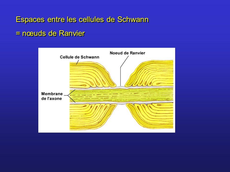 Espaces entre les cellules de Schwann