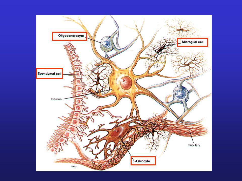 Astrocytes: = les plus nombreuses