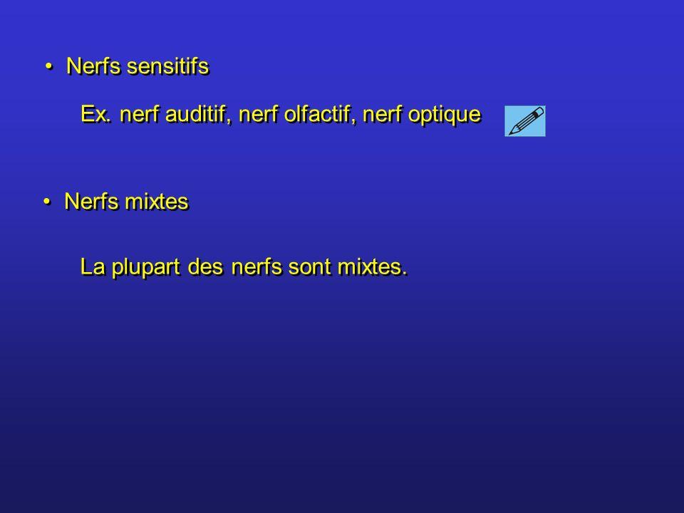 Nerfs sensitifs Ex. nerf auditif, nerf olfactif, nerf optique.