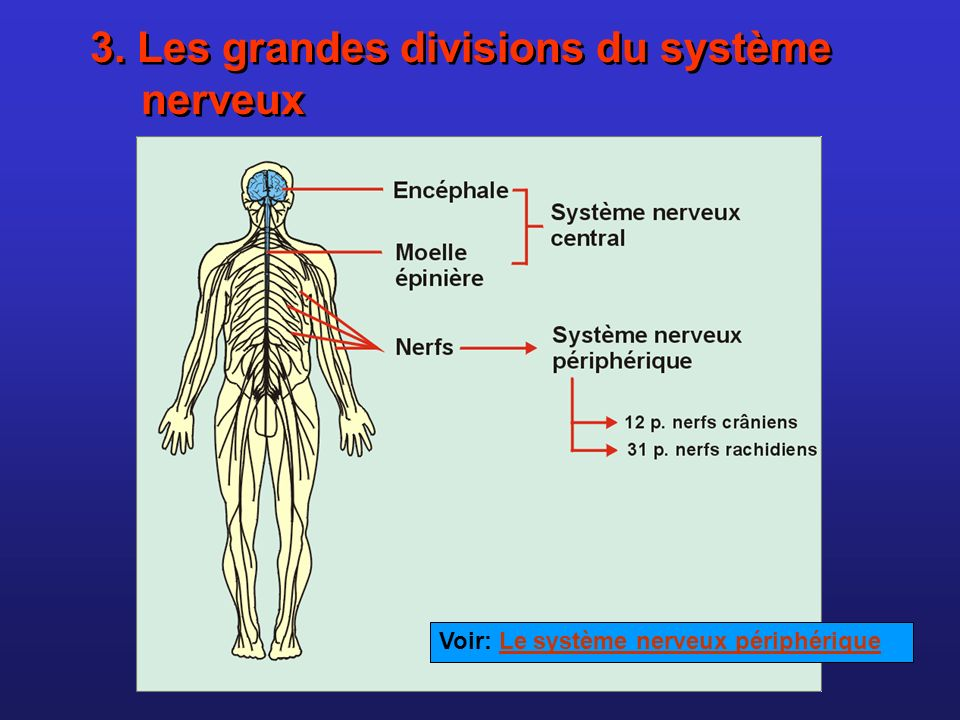 3. Les grandes divisions du système nerveux
