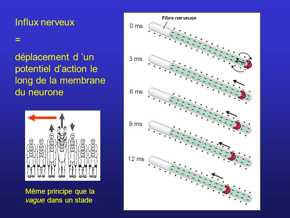 déplacement d 'un potentiel d'action le long de la membrane du neurone