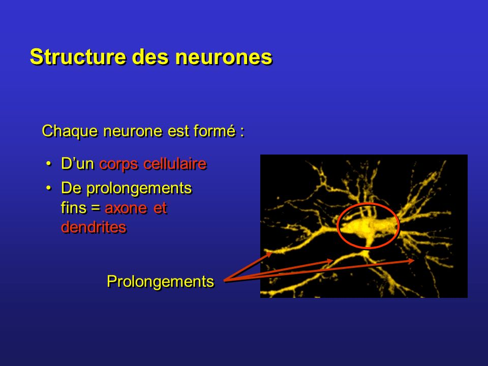 Structure des neurones
