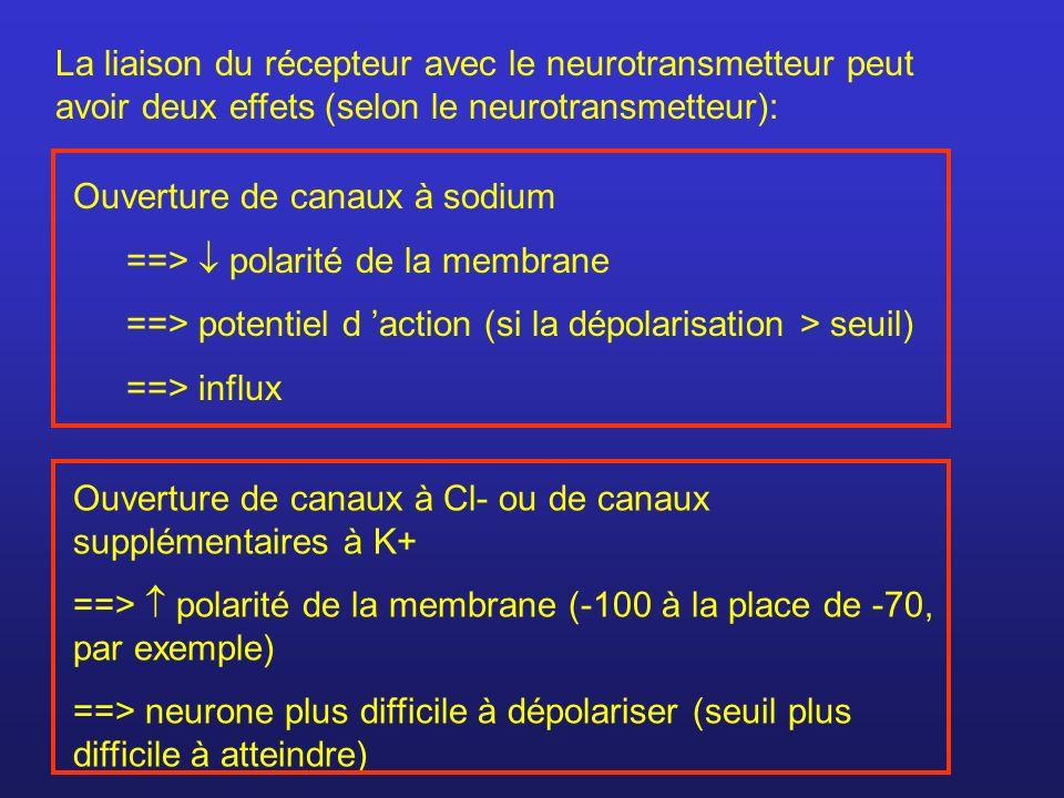 La liaison du récepteur avec le neurotransmetteur peut avoir deux effets (selon le neurotransmetteur):
