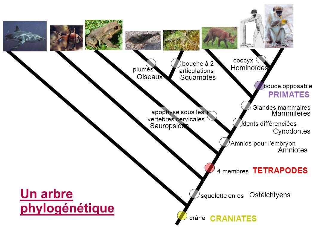Un arbre phylogénétique
