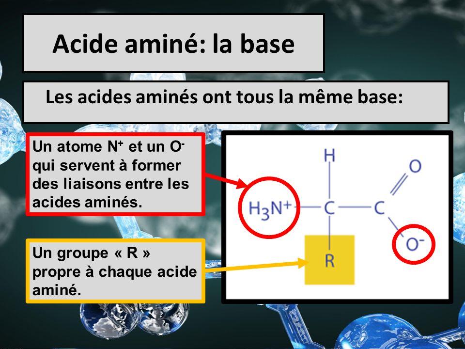Acide aminé: la base Les acides aminés ont tous la même base: