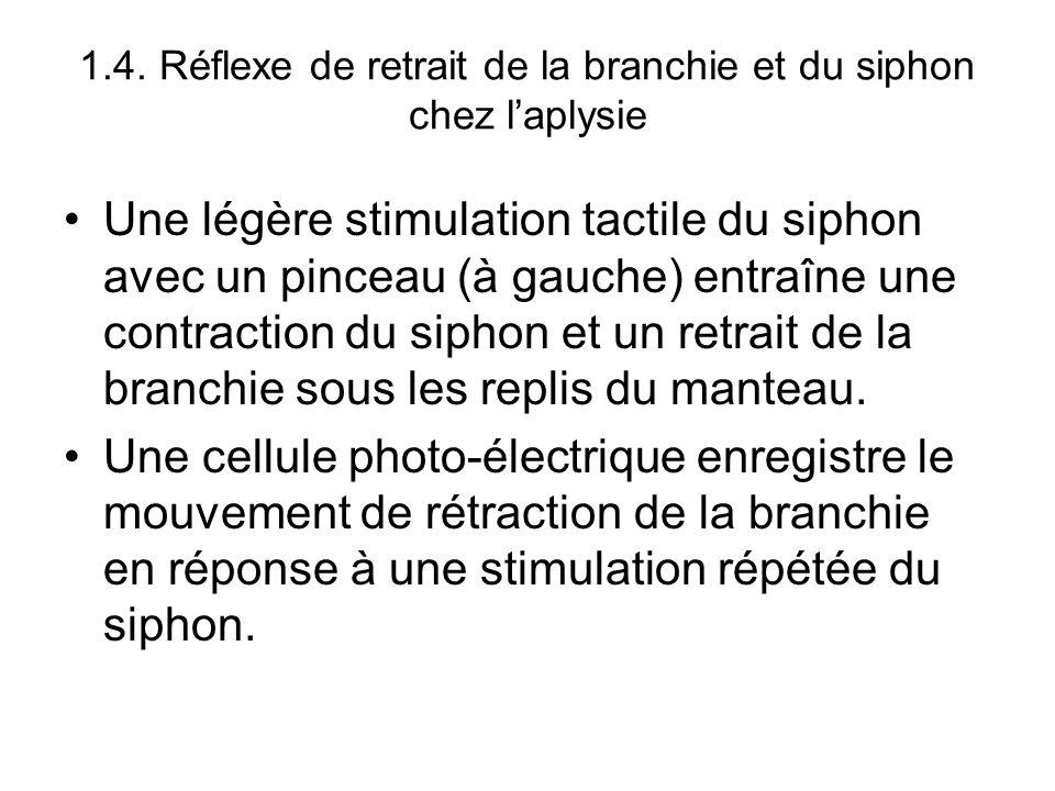 1.4. Réflexe de retrait de la branchie et du siphon chez l'aplysie