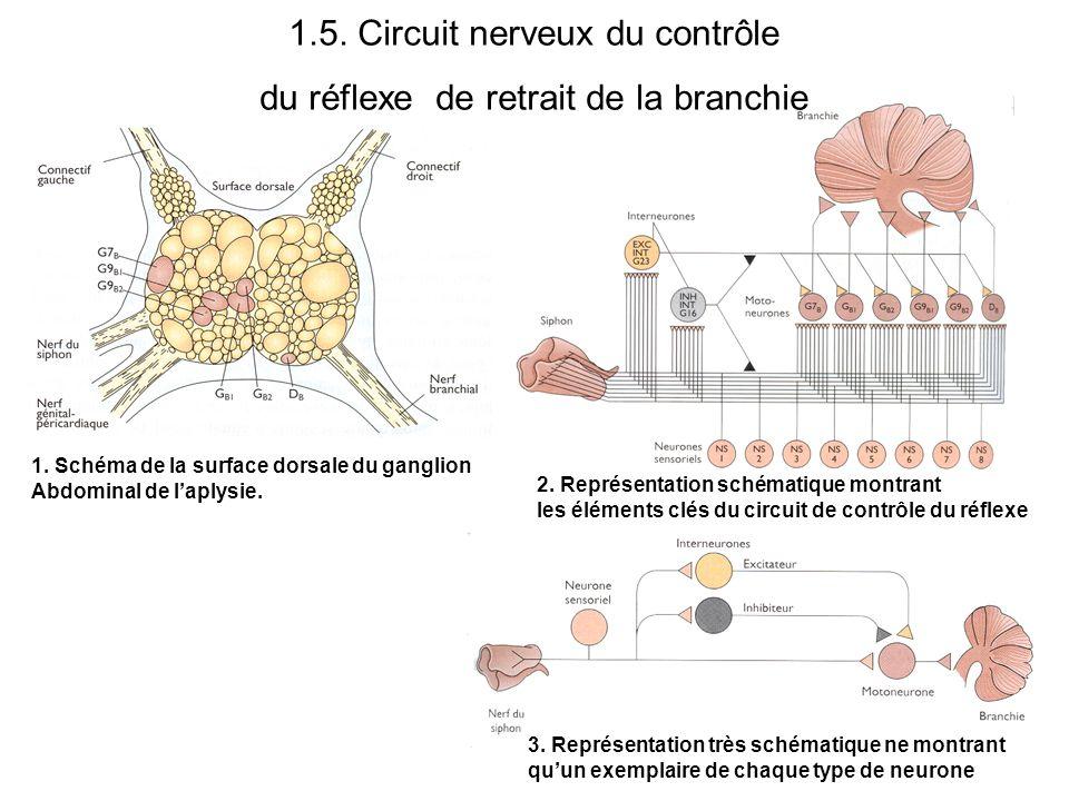 1.5. Circuit nerveux du contrôle du réflexe de retrait de la branchie