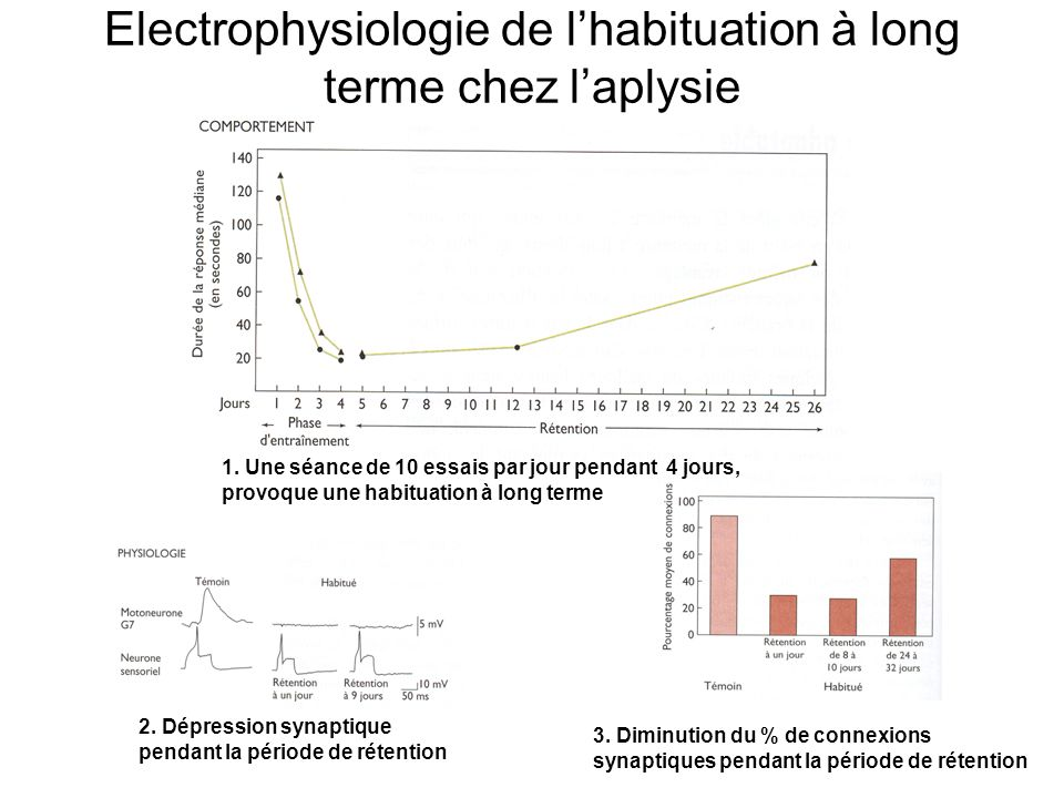 Electrophysiologie de l'habituation à long terme chez l'aplysie