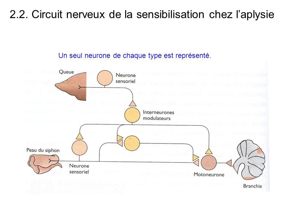 2.2. Circuit nerveux de la sensibilisation chez l'aplysie