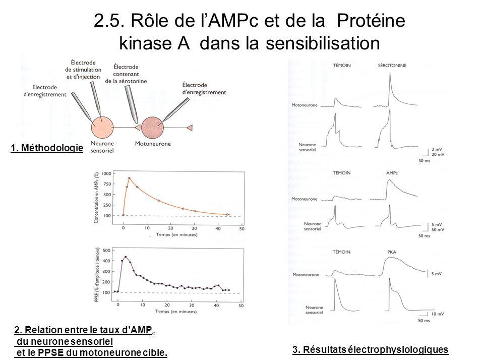 2.5. Rôle de l'AMPc et de la Protéine kinase A dans la sensibilisation