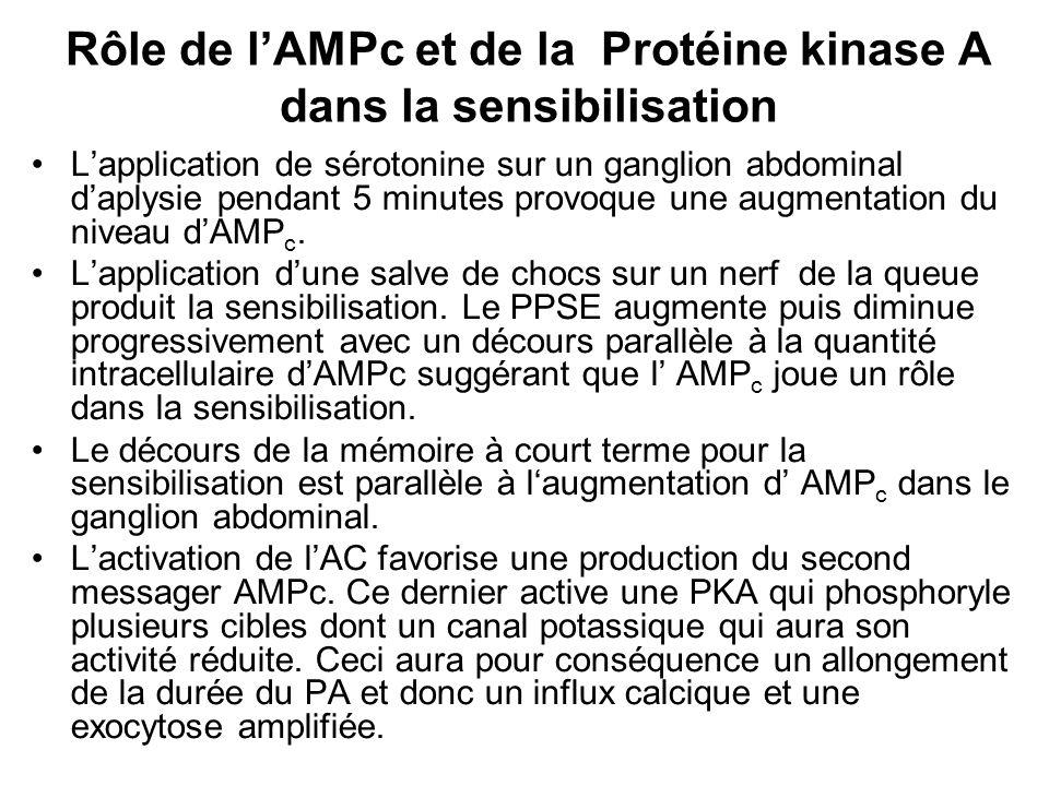 Rôle de l'AMPc et de la Protéine kinase A dans la sensibilisation