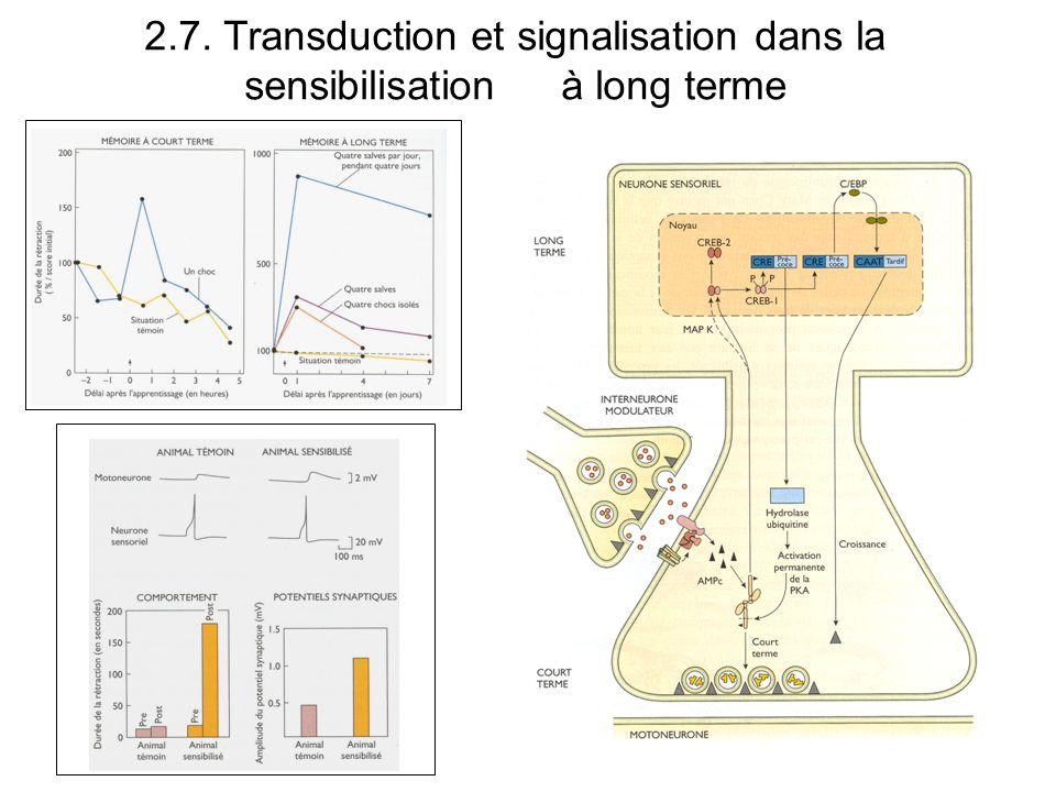 2. 7. Transduction et signalisation dans la sensibilisation