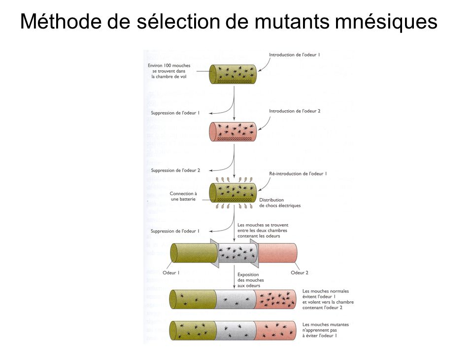Méthode de sélection de mutants mnésiques