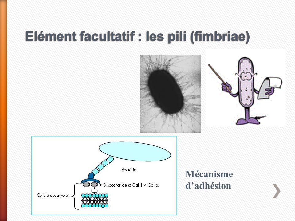 Elément facultatif : les pili (fimbriae)