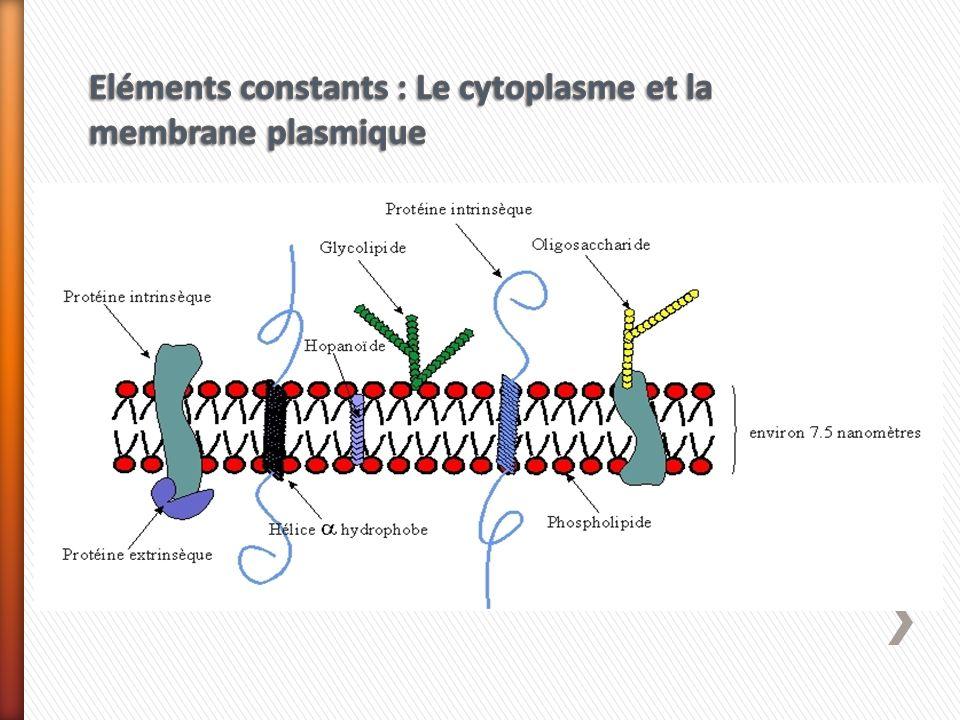 Eléments constants : Le cytoplasme et la membrane plasmique