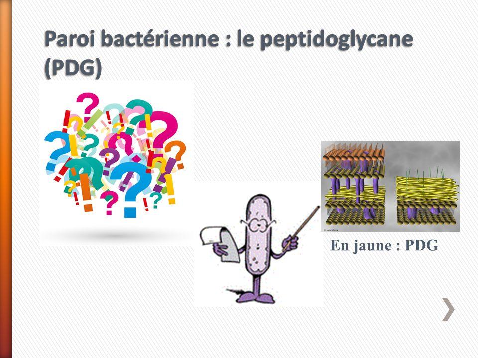 Paroi bactérienne : le peptidoglycane (PDG)