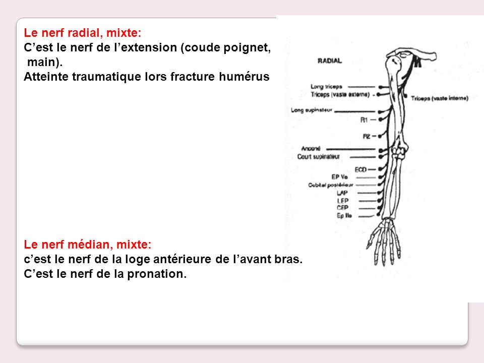 Le nerf radial, mixte: C'est le nerf de l'extension (coude poignet, main). Atteinte traumatique lors fracture humérus.