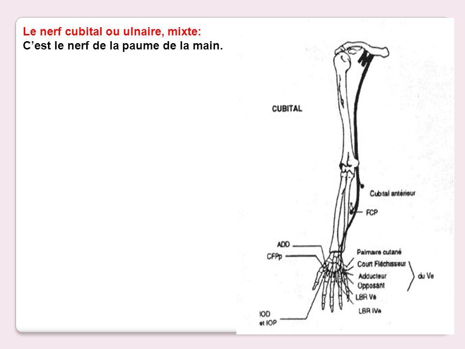 Le nerf cubital ou ulnaire, mixte:
