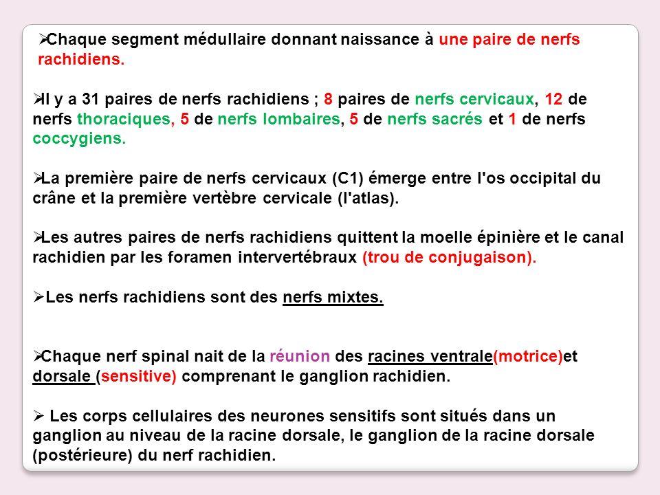 Il y a 31 paires de nerfs rachidiens ; 8 paires de nerfs cervicaux, 12 de nerfs thoraciques, 5 de nerfs lombaires, 5 de nerfs sacrés et 1 de nerfs coccygiens.