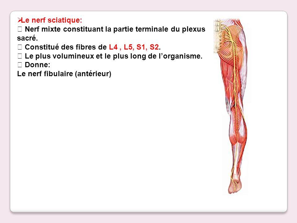 Le nerf sciatique:  Nerf mixte constituant la partie terminale du plexus sacré.  Constitué des fibres de L4 , L5, S1, S2.