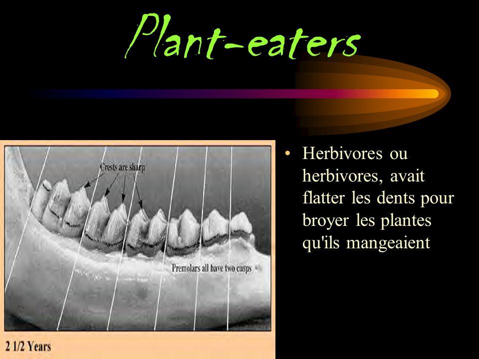 Plant-eaters Herbivores ou herbivores, avait flatter les dents pour broyer les plantes qu ils mangeaient.