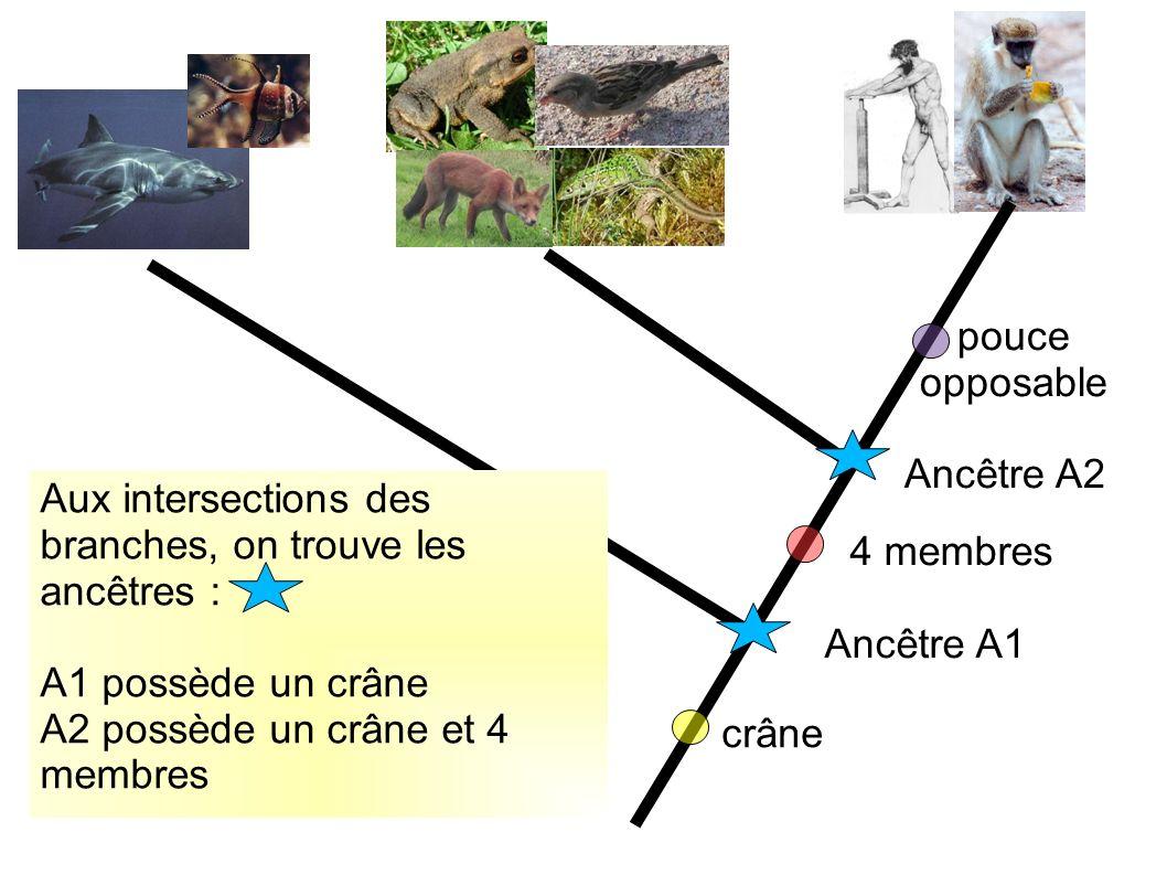 pouce opposable Ancêtre A2. Aux intersections des branches, on trouve les ancêtres : A1 possède un crâne.
