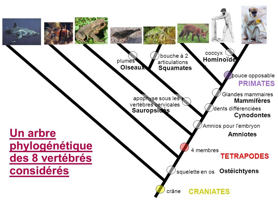 Un arbre phylogénétique des 8 vertébrés considérés