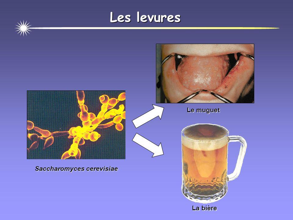 Les levures Le muguet La bière Saccharomyces cerevisiae