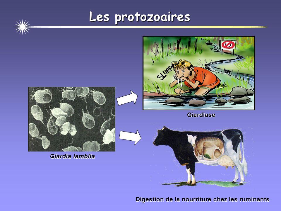 Les protozoaires Giardiase Giardia lamblia