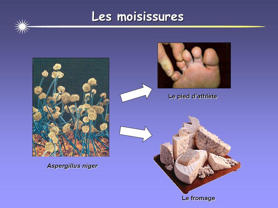 Les moisissures Le pied d'athlète Le fromage Aspergillus niger