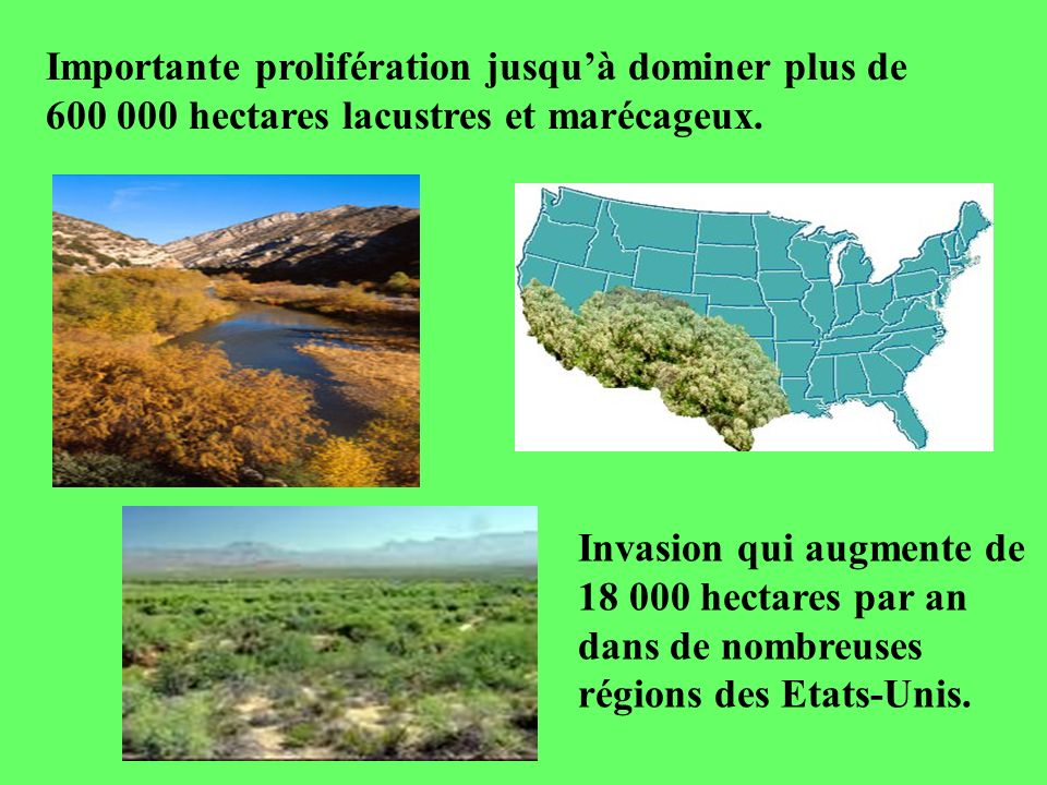 Importante prolifération jusqu'à dominer plus de 600 000 hectares lacustres et marécageux.
