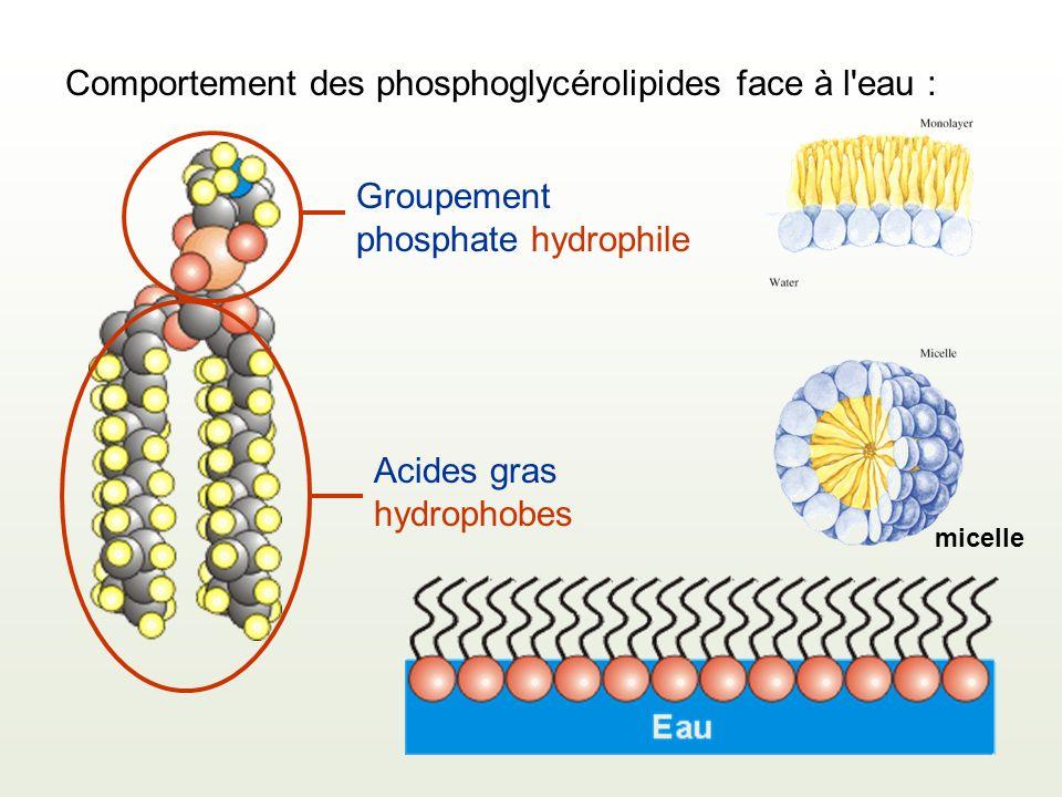 Comportement des phosphoglycérolipides face à l eau :