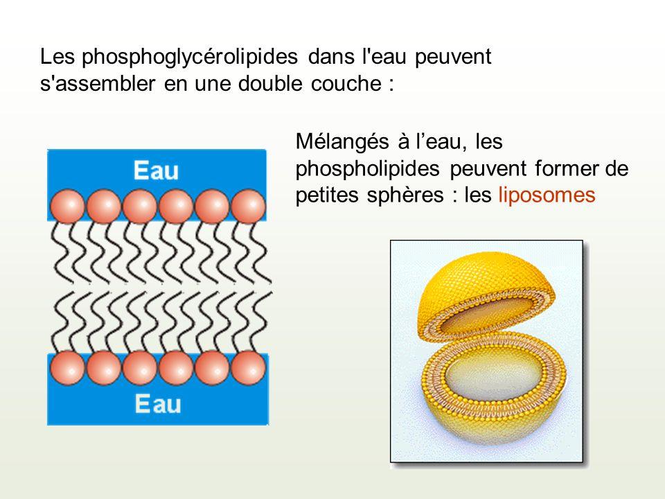 Les phosphoglycérolipides dans l eau peuvent s assembler en une double couche :