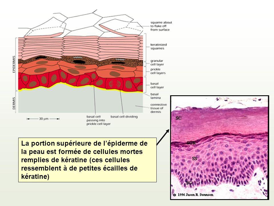 La portion supérieure de l'épiderme de la peau est formée de cellules mortes remplies de kératine (ces cellules ressemblent à de petites écailles de kératine)
