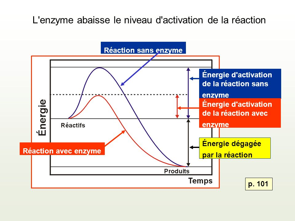 L enzyme abaisse le niveau d activation de la réaction