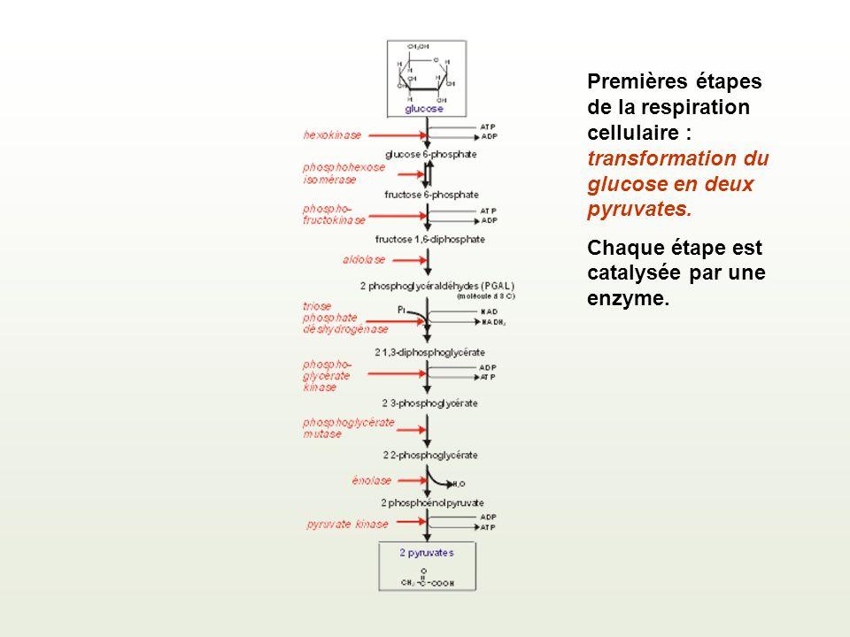 Premières étapes de la respiration cellulaire : transformation du glucose en deux pyruvates.