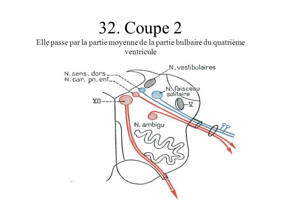 32. Coupe 2 Elle passe par la partie moyenne de la partie bulbaire du quatrième ventricule