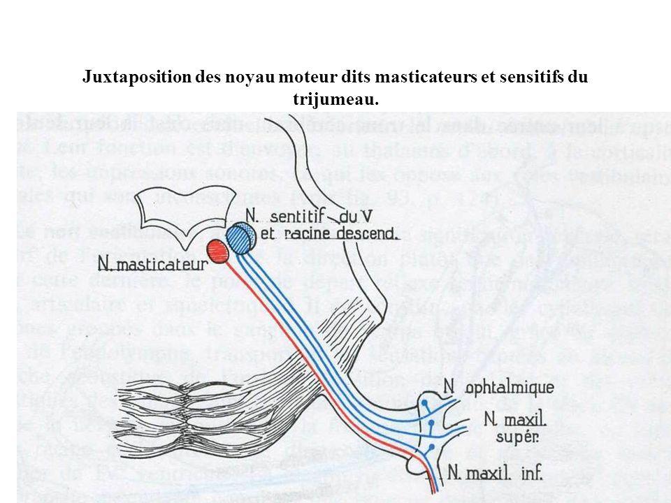 Juxtaposition des noyau moteur dits masticateurs et sensitifs du trijumeau.